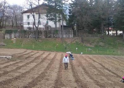 Messa a terra delle piante di Lavanda dei Sibillini - top