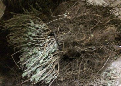 Messa a terra delle piante di Lavanda dei Sibillini4