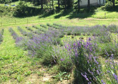 Visita Guidata al Campo di Lavanda dei Sibillini a Montegallo11