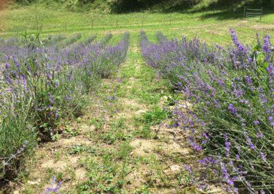 Visita Guidata al Campo di Lavanda dei Sibillini a Montegallo14