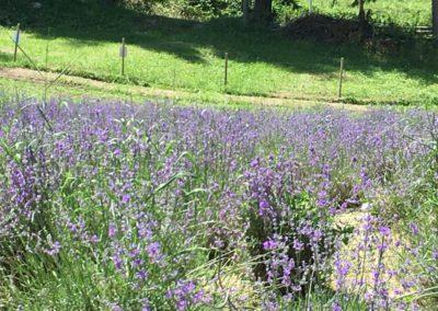 Visita Guidata al Campo di Lavanda dei Sibillini a Montegallo2