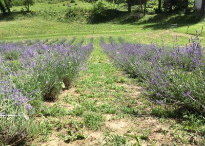Visita Guidata al Campo di Lavanda dei Sibillini a Montegallo4
